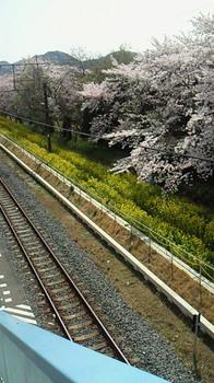 房州の桜2.jpg