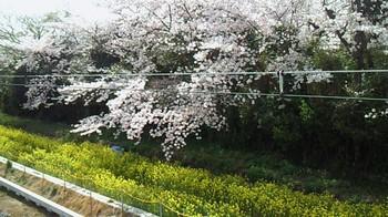 房州の桜3.jpg