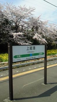 房州の桜1.jpg