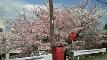 房州の桜4.jpg
