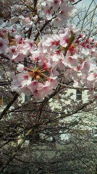 房州の桜5.jpg
